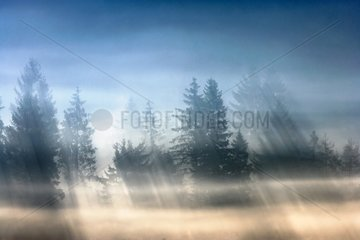 Conifers in mist and sunlight - Auvergne France
