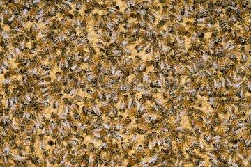 Honey bee workers alveoli - France
