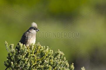 Speckled mousebird in the fynbos - Reserve De Hoop South Africa