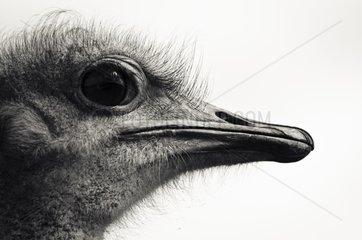 Portrait of Ostrich - Reserve De Hoop South Africa