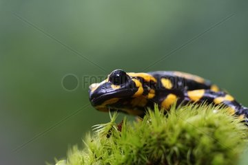 Corsican spotted salamander on moss - Corse France