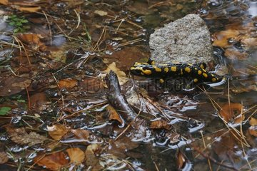 Corsican spotted salamander in a forest pond - France