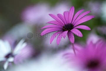 Osteospermum flowers in a botanical garden - France