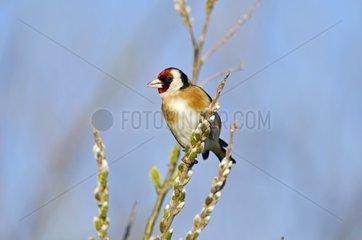 European Goldfinch on a branch - Midlands UK