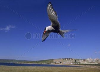 Arctic Tern in flight - Sullom Boe Oil terminal Shetland UK