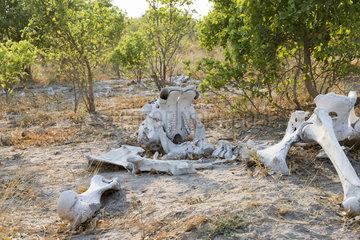 African bush elephant or African savanna elephant (Loxodonta africana)  skeleton of a dead elephant  Moremi National Park  Bostwana
