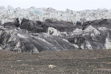 Polar bear (Ursus maritimus) in front of a moraine  Nordaustlandet  Spitzberg  Svalbard.