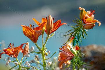 Orange Lily (Lilium bulbiferum) flowers  Alps  France