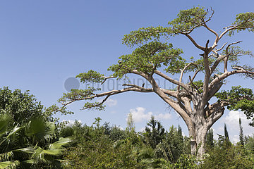 Baobab (Adansonia digitata) in the Haile Resort  Ziway lake  Rift Valley  Ethiopia