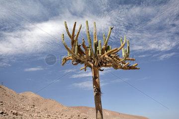 Candelabra Cactus (Browningia candelaris)  endemic Chile-Peru  Monumento Natural Quebrada de Cardones  XV Region of Arica and Parinacota  Chile