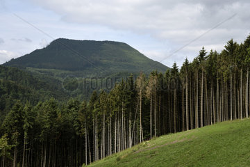 Clear-cutting in a spruce forest  Norway spruce (Picea abies) towards the Steige pass  view of the Climont  Steige  Bas Rhin  France