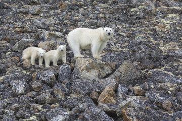 Polar bear (Ursus maritimus) female and her two cubs  Spitzberg  Svalbard