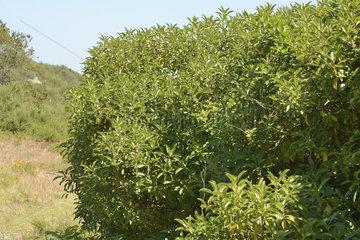 Waterbush (Myoporum acuminatum) introduced in Chile  Mantagua Wetland  Quintero  V Valparaiso Region  Chile