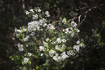 Woolly tea-tree (Leptospermum lanigerum) flowers  Cradle Mountain National Park - St Clair Lake  Tasmania  Australia