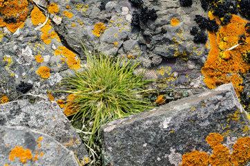 Antarctic hair grass (Deschampsia antarctica)  one of only two flowering plants in Antarctica  between rocks covered with lichens