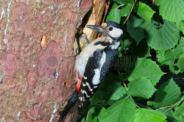 Great Spotted Woodpecker (Dendrocopos major) adult female observing at the entrance of her lodge dug in a dead fir tree  June  South Finistère  France