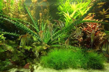 Aquarium planted with Altum scalars and red backs Manacapuru