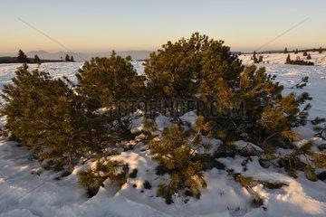 Dwarf pine  culms  summit  Champ du Feu (1099 m)  Hautes Vosges  Belmont  Bas Rhin  France