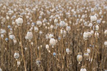 Poppy field (Papaver somniferum) grown for the pharmaceutical industry  Tasmania  Australia