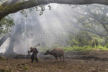 Farmer in traditional clothes and domestic buffalo for agricultural work  Xiapu County  Fujiang Province  China