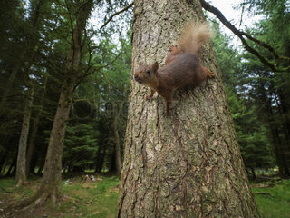 A Red Squirrel (Sciurus vulgaris) drops down the tree in the woodlands of Yorkshire in the UK.