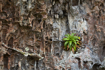 Bromeliaceae (Navia acaulis) endemic in Colombia in the place called Ciudad de Piedra  San Jose del Guaviare  Colombia