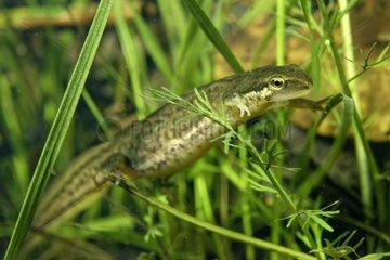 Palmate Newt female in pond - Prairies Fouzon France