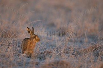 Brown Hare sitting in a frozen meadow in winter - GB