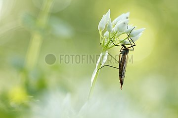 Crane fly on Ramson in bloom - Alsace France