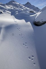 Traces of Mountain Hare in the snow - Swiss Alps