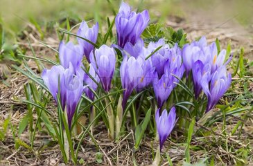 Dutch crocus in bloom in the Alps - France