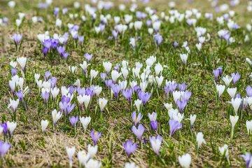 Dutch crocus in bloom in the Alps - France