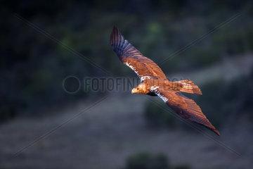 Spanish imperial eagle (Aquila adalberti) in flight  Cordoba  Spain