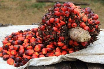 Palm oil seeds (Elaeis guineensis)  Gabon