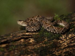 Fer-de-Lance (Bothrops asper)  juvenile  Pital  Costa Rica  October