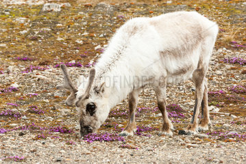 Svalbard Reindeer (Rangifer tarandus platyrhynchus) and Saxifrage (Saxifraga oppositifolia)  Svalbard