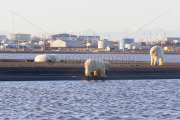 Polar Bear( Ursus maritimus )  mother with two cubs nearby an another mother  near the water edge along a barrier island outside Kaktovik  Every fall  polar bears (Ursus maritimus) gather near Kaktovik on the northern edge of ANWR  Barter Island  Arctic National Wildlife Refuge  Alaska