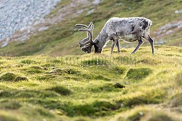 Svalbard reindeer (Rangifer tarandus platyrhynchus) grazing in the tundra  Svalbard
