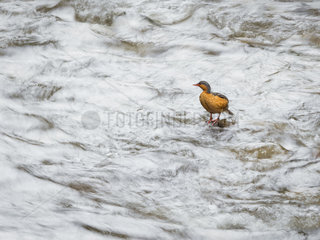 Torrent duck (Merganetta armata)  female on fast-flowing stream  Otun Quimbaya reserve  Colombia  December