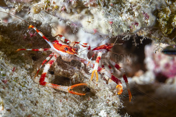 Squat lobster (Munida barbeti) of the twilight zone. Photo taken at 92 meters deep. Mayotte