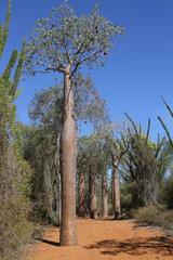 Young Baobab (Adansonia) rubrostipa  Ifaty  Province of Tulear  Madagascar