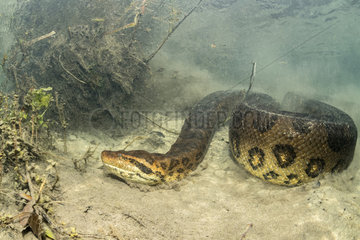 Green anaconda  (Eunectes murinus)  the largest snake in the world  female can reach impressive proportions; over 6 m in length  30 cm in diameter and more than 200 kg. Formoso River  Bonito  Mato Grosso do Sul  Brazil