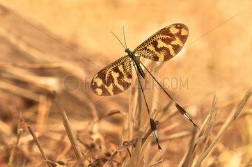 Spoonwing (Nemoptera bipennis)  Doñana  Andalucia  Spain