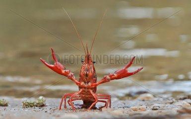 Red swamp crayfish (Procambarus clarkii) on bank  Andalucia  Spain