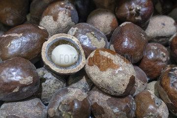 Vegetable Ivory  Ivory Palm Nut (Phytelephas sp)  Dali Market  Yunnan  China