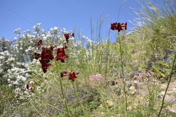 Argylia (Argylia radiata) indigenous to Chile  around Ovalle  IV Region of Coquimbo  Chile