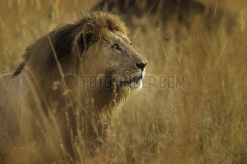 An impressive male Lion (Panthera leo) overlooks the valley in the early morning in the Maasai Mara  Kenya.