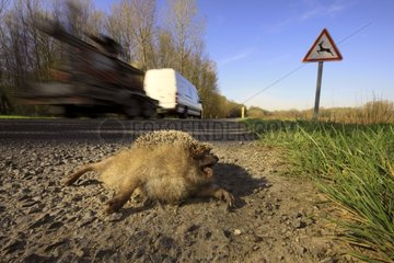 Western European Hedgehog kill road - France