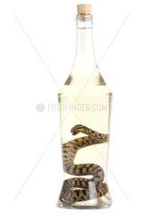 Adder in liquor bottle on white background