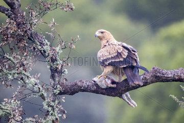 Spanish imperial eagle (Aquila adalberti) with prey on a branch  Cordoba  Spain